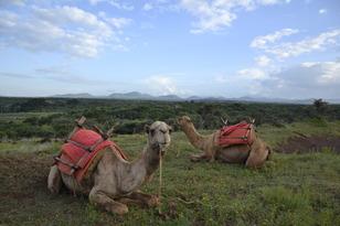 SafariCamelloSamburu
