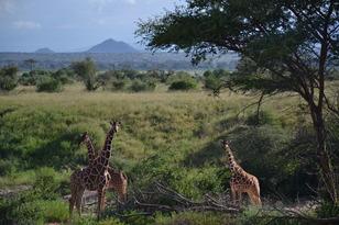 Samburu_giraffes